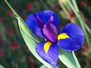 Famiglia dei giaggioli e gladioli: quali sono le caratteristiche delle Iridacee?
